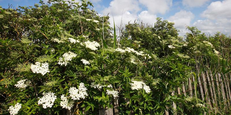 fladerbuske